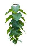 Litsea grandis Hook.f. tree Royalty Free Stock Photography