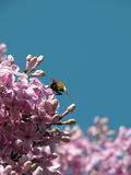 Litte Bee on hungarian lilac. Litte bee sitting on a hungarian lilac Royalty Free Stock Image
