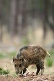 Litte Boar Stock Image