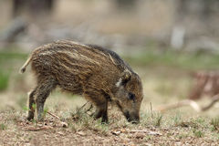 Litte Boar. Two Litte Boars in the forrest eating Royalty Free Stock Photography