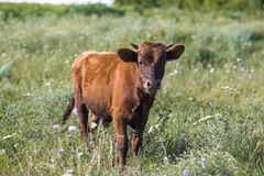 Litte brünieren vilage Kuh, Kuh im wilden Stockfoto