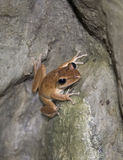 Litte brown frog climbing stone rock Stock Photo