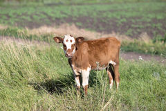 Litte brown vilage cow, cow in the wild Stock Photos