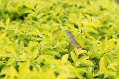 Litte chameleon Stock Image