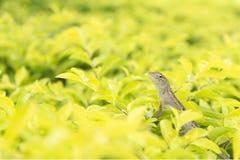 Litte chameleon Stock Photos