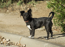 Litte Dog. A little black dog on his early morning walk Stock Image