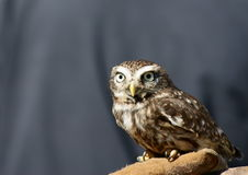 Litte Owl (Athene Noctua) on a gloved hand Royalty Free Stock Image