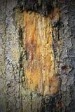 Litteken op een boomboomstam Royalty-vrije Stock Foto