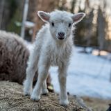 A littel white lamb standing on ones own royalty free stock images