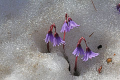Littel fringed bells (soldanella alpina) Stock Photos