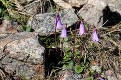 Littel fringed bells (soldanella pusilla) Stock Photo