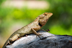 Littel lizard Stock Photography