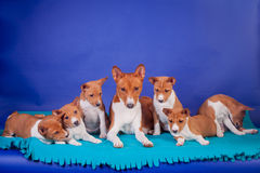 Litter of basenji puppies with mother on blue Stock Photography