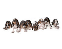Litter of Basset Hound puppies. A litter of eight Basset Hound puppies. Isolated on a white background Royalty Free Stock Photos