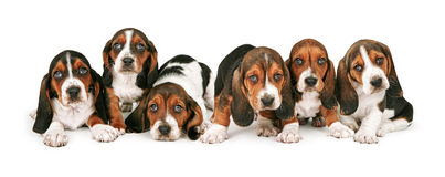 Litter of Basset Hound Puppies. A litter of six week old Basset Hound puppies lined up in a row stock photos