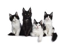 Litter of black and white Maine Coon kittens on white