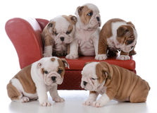 Litter of bulldog puppies. Litter of five bulldog puppies on a red leather couch on white background Royalty Free Stock Photography