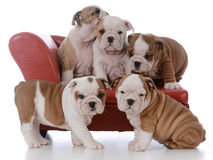 Litter of bulldog puppies. Litter of five bulldog puppies on a red leather couch on white background Stock Image