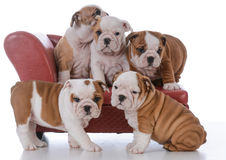 Litter of bulldog puppies Royalty Free Stock Image