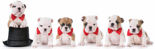 Litter of bulldog puppies Stock Photo