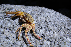 A litter crab on rock Royalty Free Stock Image