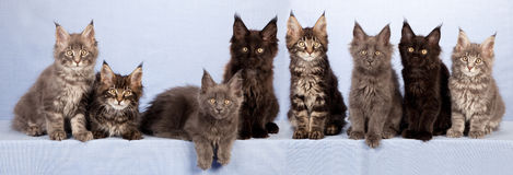 Litter of cute Maine Coon kittens. Litter of eight cute Maine Coon kittens in row with light blue background royalty free stock photography