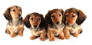 Litter of Dachshund puppies. Litter of longhair dachshund puppies, studio isolated on white Royalty Free Stock Images