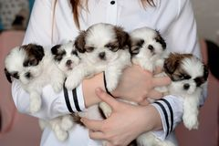 Five puppies shitzu in the hands of the breeder royalty free stock photos