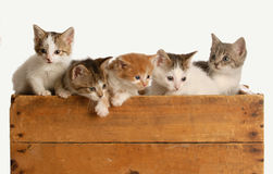 Litter of five kittens Stock Image