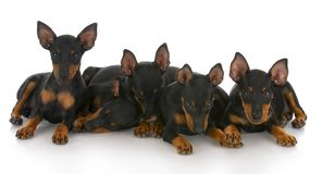 Litter of five puppies Stock Images