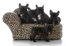 Litter of french bulldog puppies. On a couch isolated on white background Royalty Free Stock Photo
