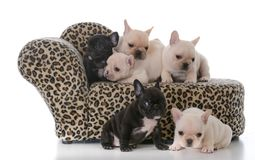 Litter of french bulldog puppies. On a couch isolated on white background Royalty Free Stock Image