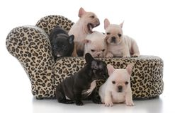 Litter of french bulldog puppies. On a couch  on white background Royalty Free Stock Photos
