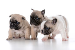 Litter of french bulldog puppies. On white background Stock Photos