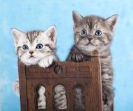 Litter of kittens on blu background. Kittens on blu background, British breed. Tabby stock photos