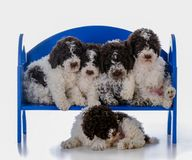 Litter of lagatto romagnolo puppies. Litter of five lagatto romagnolo puppies on a bench on white background Stock Photos