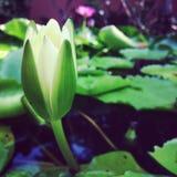 Litter lotus Stock Image