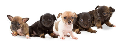 Litter of mixed breed puppies Stock Photography