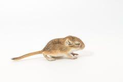 Litter Mongolian gerbil, Desert Rat stock image