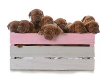 Litter of nine puppies. Litter of nine dogue de bordeaux puppies in a wooden crate on white background Stock Photography