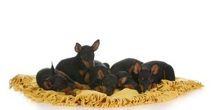 Free Litter Of Puppies Stock Photos - 15957583