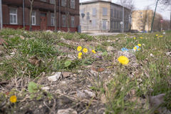Litter,old leaves and yellow flowers in grass in city. Green grass, old leaves and yellow spring flowers Royalty Free Stock Photography