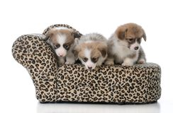 Litter of pembroke welsh corgi puppies. On a dog couch on white background Royalty Free Stock Photos