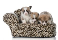 Litter of pembroke welsh corgi puppies. On a dog couch on white background Royalty Free Stock Photography