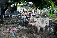 Litter and a pig. Dirty pig is tied to a tree in a backyard full of litter and various junk in Bali, Indonesia. Even though this island is so often called a stock photos