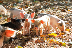 A litter of piglets Stock Images
