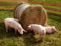 Litter of piglets Stock Photos