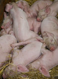 Litter of Piglets Royalty Free Stock Image