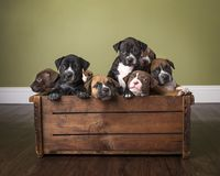Litter of puppies in wooden box in studio with wooden floor show. Litter of pit bull puppies in the studio piled in a wooden box stock images
