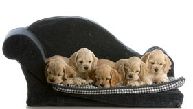 Litter of puppies Stock Photography